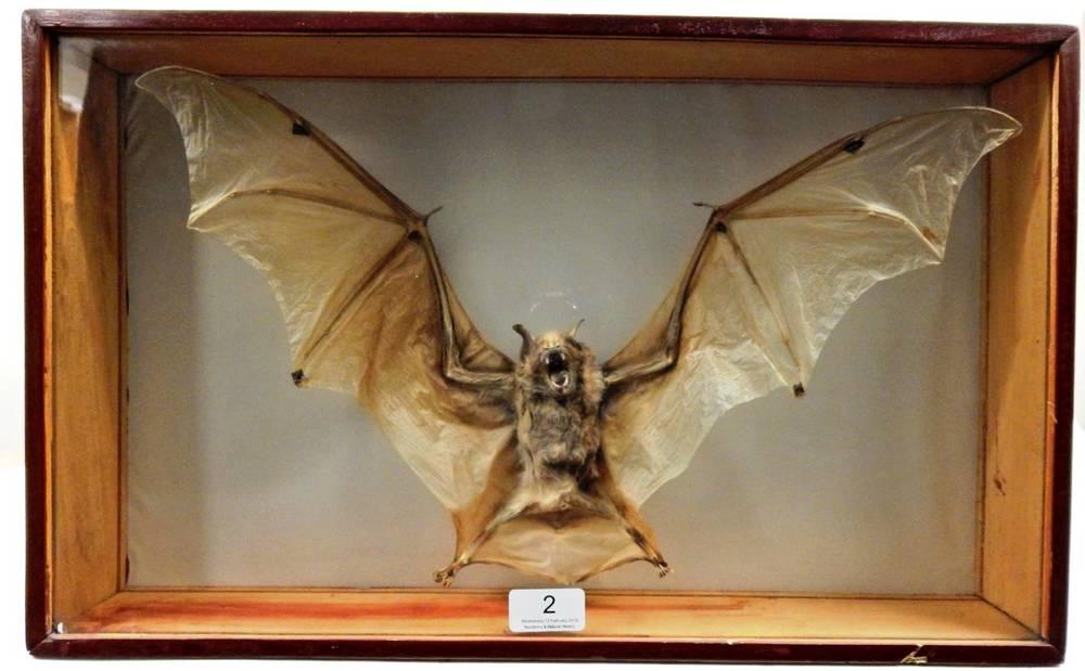 Lot 2 - Taxidermy: A Preserved Cased Bat Native to Peru, circa 1980, a full mount preserved Bat, with...