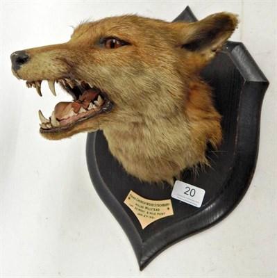 Lot 20 - Taxidermy: Red Fox Mask (Vulpes vulpes), circa 1921, by Rowland Ward, The Jungle, 167...