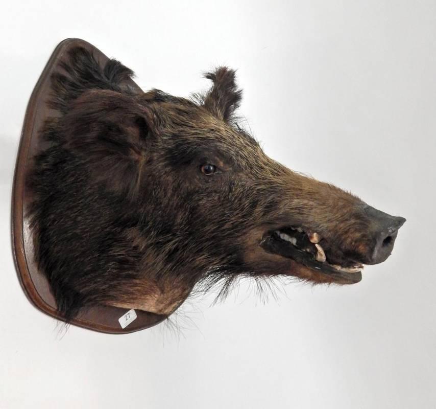Lot 27 - Taxidermy: European Wild Boar (Sus scrofa), circa late 20th century, head mount on shield, with...
