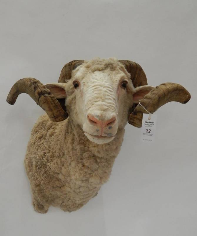 Lot 32 - Taxidermy: Merino Sheep (Ovis aries), modern, shoulder mount with head turning slightly to the...