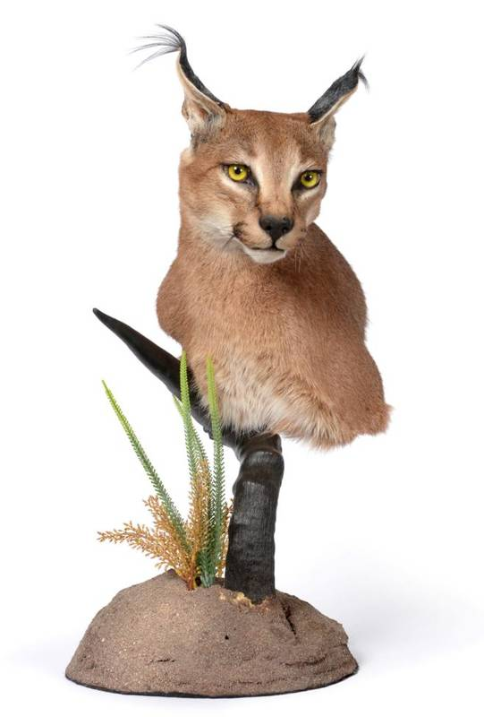 Lot 36 - Taxidermy: African Caracal (Caracal caracal), modern, shoulder mount with head turning to the left