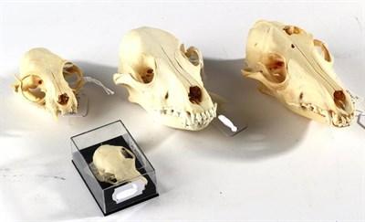 Lot 39 - Skulls/Anatomy: A Black-Backed Jackal (Canis mesomelas), complete skull, 18cm, Spanish Dog,...