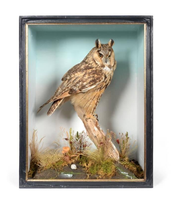 Lot 43 - Taxidermy: Long-Eared Owl (Asio otus) circa 2012, by H.R. Bennetts, Taxidermy, Hainford,...