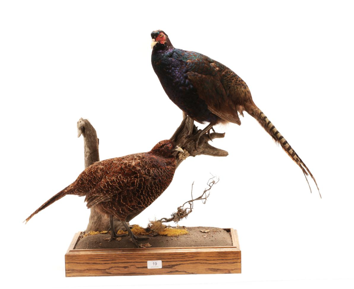 Lot 19 - Taxidermy: A Pair of Melanistic Pheasants (Phasianus colchicus), modern, by George C. Jamieson,...