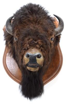 Lot 2000 - Taxidermy: North American Bison (Bos bison bison), circa August 23rd 1877, North West...