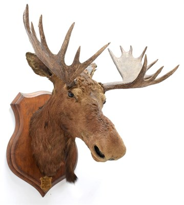 Lot 2001 - Taxidermy: North American Moose (Alces alces), circa September 18th 1877, N.W. Territory, adult...