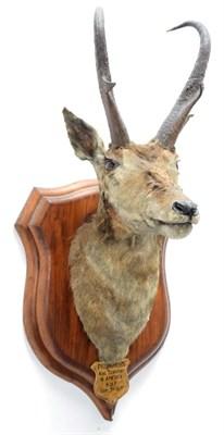 Lot 2002 - Taxidermy: North American Pronghorn (Antilocapra americana), circa September 03rd 1877, North...