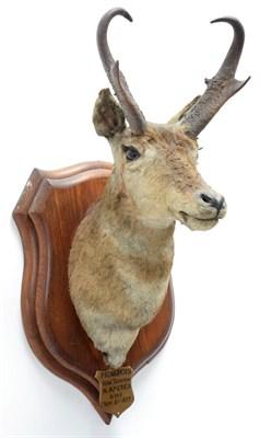 Lot 2003 - Taxidermy: North American Pronghorn (Antilocapra americana), circa September 06th 1877, North...