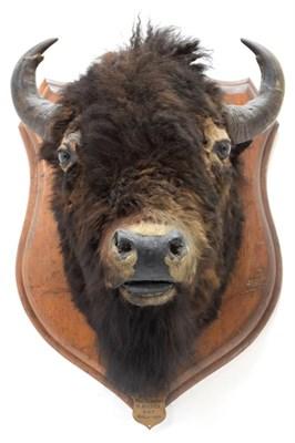Lot 2004 - Taxidermy: North American Bison (Bos bison bison), circa August 31st 1877, North West...