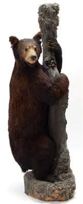 Lot 2005 - Taxidermy: North American Black Bear (Ursus americanus), circa 1877, full mount young adult...