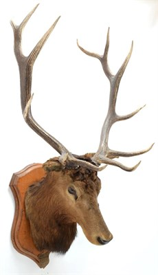 Lot 2006 - Taxidermy: North American Wapiti (Cervus canadensis), circa October 02nd 1877, North West...
