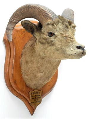Lot 2007 - Taxidermy: Big Horn Sheep (Ovis canadensis), circa August 29th 1878, Rocky Mountains, North...