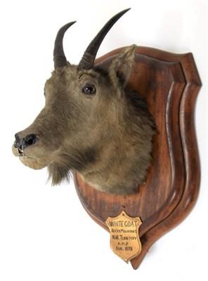 Lot 2008 - Taxidermy: Rocky Mountain Goat (Oreamnos americanus), circa August 1878, Rocky Mountains, N W...