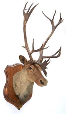 Lot 2009 - Taxidermy: North American Woodland Caribou (Rangifer tarandus caribou), circa September 11th...