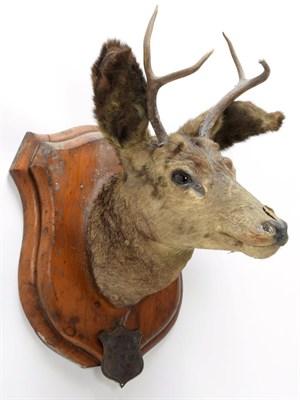 Lot 2010 - Taxidermy: A Pair of Mule Deer (Odocoileus hemionus), circa September 29th 1877, North West...