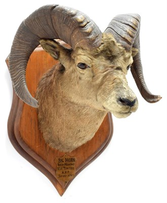 Lot 2011 - Taxidermy: North American Big Horn Sheep (Ovis canadensis canadensis), circa September 20th...