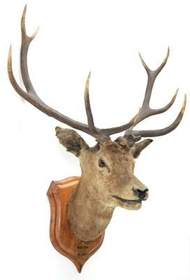 Lot 2012 - Taxidermy: Kashmir Deer or Hangul (Cervus elaphus hangul), circa 1877, Kashmir, India, large...
