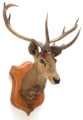 Lot 2014 - Taxidermy: Eld's Deer (Rucervus eldii), circa 1905, Burma, by Rowland Ward, ''The Jungle'', 166...