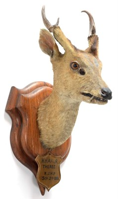 Lot 2017 - Taxidermy: Indian Muntjac (Muntiacus muntjak), circa September 24th 1886, Theree, India, adult male