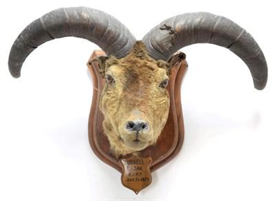 Lot 2019 - Taxidermy: A Pair of Blue Sheep or Bharal (Pseudois nayaur), circa June & July 1875, Ladakh,...