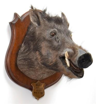 Lot 2022 - Taxidermy: Indian Wild Boar (Sus scrofa cristatus), circa April 04th 1901, Assam, Northeastern...