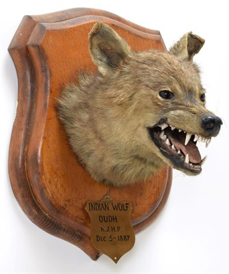 Lot 2023 - Taxidermy: Indian Wolf (Canis lupus pallipes), circa December 05th 1887, Oudh, Northern India,...