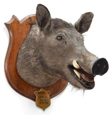 Lot 2025 - Taxidermy: Ceylon Wild Boar (Sus scrofa cristatus), circa October 1900, by Rowland Ward ''The...