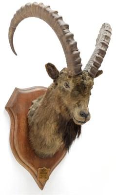 Lot 2026 - Taxidermy: Mid-Asian Ibex (Capra Sibirica alaiana), circa June 04th 1884, Zanskar, Ladakh, Northern