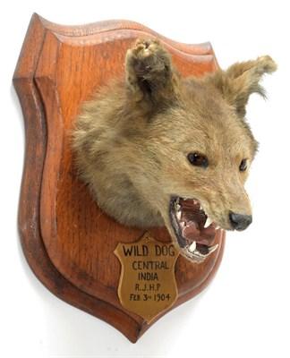 Lot 2027 - Taxidermy: Indian Wild Dog (Cuon alpinus), circa February 03rd 1904, by Rowland Ward ''The...