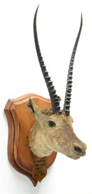 Lot 2028 - Taxidermy: A Pair of Tibetan Antelope or Chiru (Pantholops hodgsonii), circa July 1875, Chang...