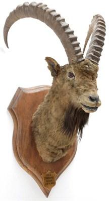 Lot 2029 - Taxidermy: Mid-Asian Ibex (Capra Sibirica alaiana), circa June 04th 1884, Zanskar, Ladakh, Northern