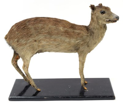 Lot 2031 - Taxidermy: Indian Spotted Chevrotain (Moschiola indica), circa 1920-1930, a full mount adult...