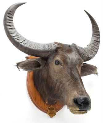 Lot 2035 - Taxidermy: Asian Wild Water Buffalo (Bubalus arnee), circa March 25th 1901, Doragaon, Assam,...