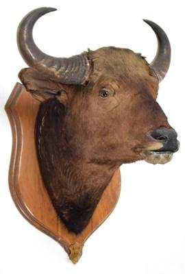 Lot 2036 - Taxidermy: Indian Gaur Buffalo (Bos gaurus gaurus), circa 1900-1910, India, large adult bull...