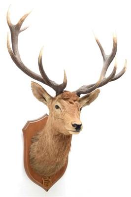 Lot 2039 - Taxidermy: Kashmir Deer or Hangul (Cervus elaphus hangul), circa 1887, Kashmir, by Rowland Ward...