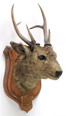 Lot 2040 - Taxidermy: Indian Hog Deer (Axis porcinus), circa 1887, an adult male head mount looking...