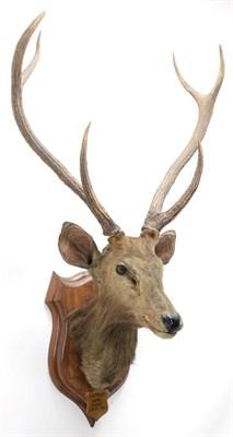 Lot 2041 - Taxidermy: Indian Sambar Deer (Rusa unicolor), circa January 12th 1883, Limri, Northern India,...