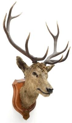 Lot 2042 - Taxidermy: Kashmir Deer or Hangul (Cervus elaphus hangul), circa 1877, Kashmir, India, large...