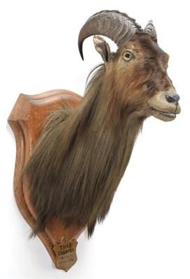 Lot 2043 - Taxidermy: Himalayan Tahr (Hemitragus jemlahicus), circa may 09th 1884, Chumbi Valley, Tibet,...