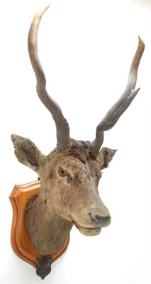 Lot 2045 - Taxidermy: Kashmir Deer or Hungul (Cervus elaphus hangul), circa September 27th 1877, Kashmir,...