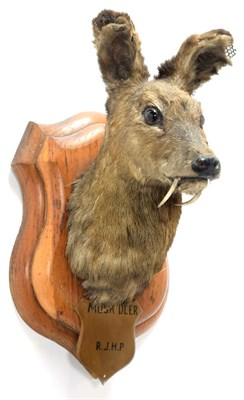 Lot 2046 - Taxidermy: White-Bellied Musk Deer (Moschus leucogaster), circa 1886, India, neck mount looking...