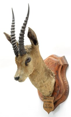 Lot 2048 - Taxidermy: Chinkara or Indian Gazelle (Gazella bennettii), circa January 29th 1881, Hussan...