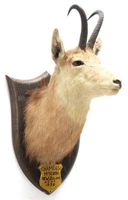 Lot 2049 - Taxidermy: New Zealand Chamois (Rupicapra rupicapra), circa 1936, by Peter Spicer & Sons,...