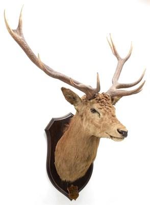 Lot 2051 - Taxidermy: New Zealand Red Deer (Cervus elaphus), circa March 1936, Okuru, South Island, by Rowland