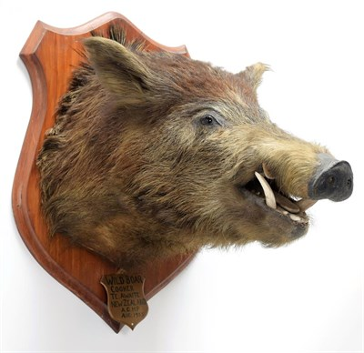 Lot 2052 - Taxidermy: New Zealand Wild Boar (Sus scrofa), circa August 1935, New Zealand, adult head mount...