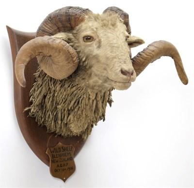 Lot 2053 - Taxidermy: New Zealand Wild Sheep / Arapawa Sheep (Ovis aries), circa October 12th 1936, New...