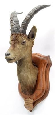 Lot 2054 - Taxidermy: Spanish Ibex (Capra pyrenaica), circa December 23rd 1879, Bouquetin, Sierra Vermeja,...