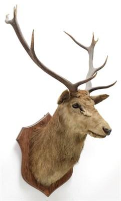 Lot 2055 - Taxidermy: European Red Deer & European Reindeer, circa late 19th century, a Red Deer stag neck...