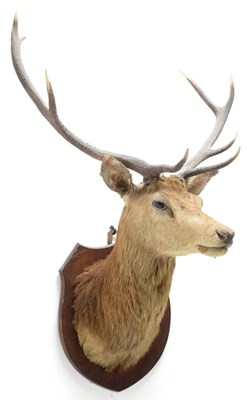 Lot 2056 - Taxidermy: Scottish Red Deer (Cervus elaphus), circa 1920, attributed to Peter Spicer & Sons,...