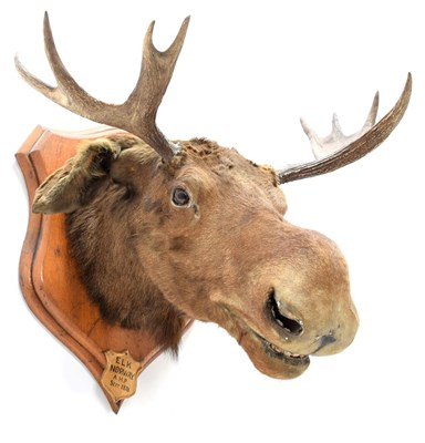 Lot 2057 - Taxidermy: European Moose (Alces alces), circa September 1876, Norway, young adult male head...